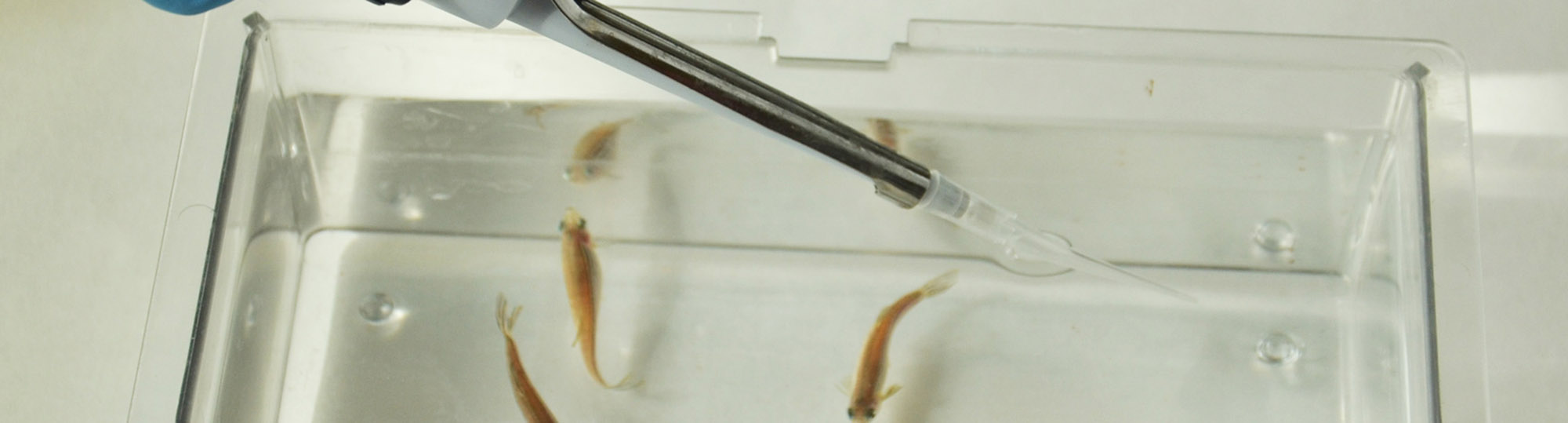 Zebrafish Drug Administration in Water