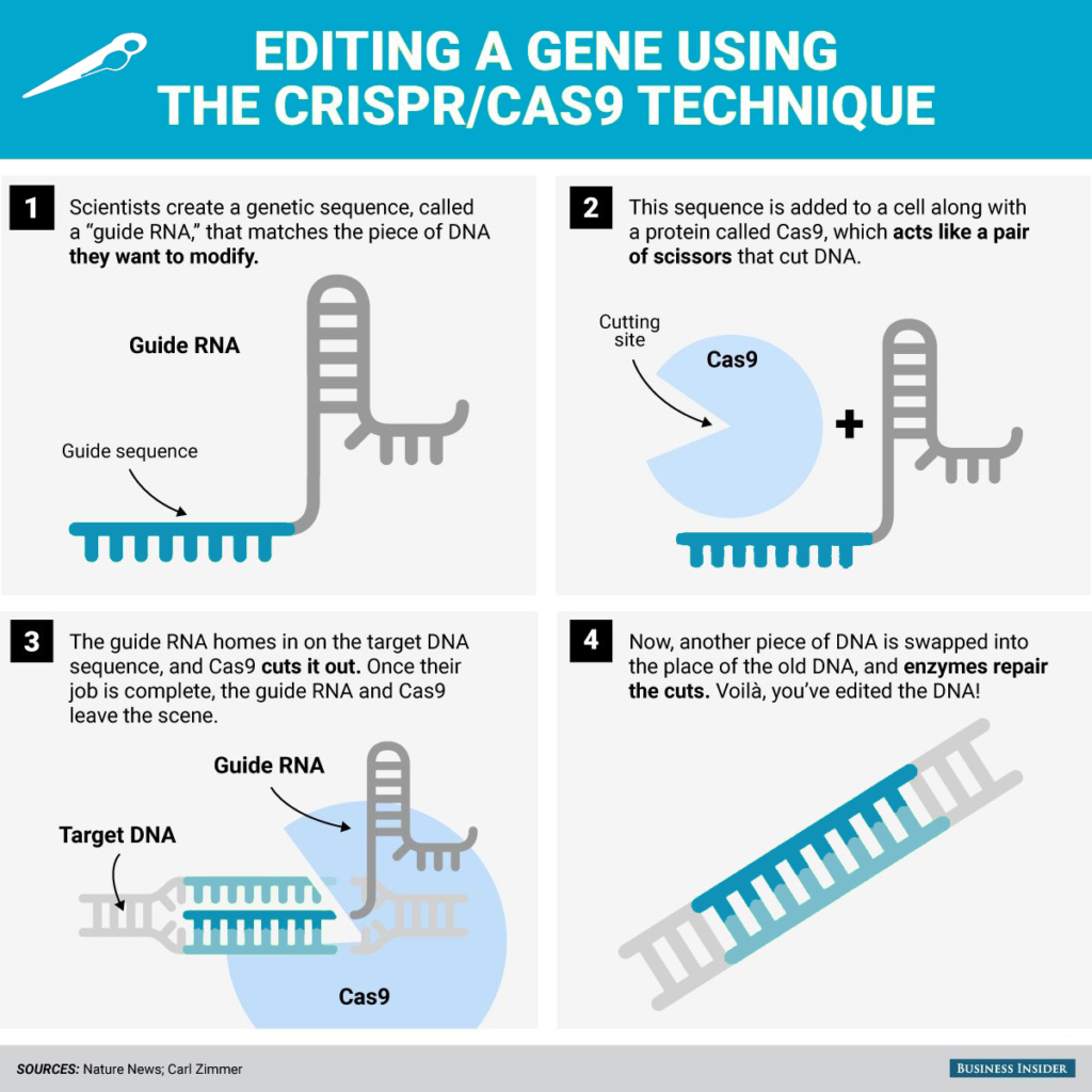 Infographic: editing a gene using the CRISPR/CAS9 technique