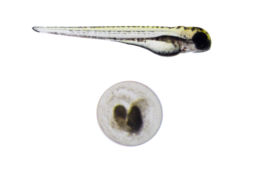 zebrafish normal and dead embryos