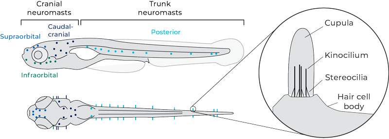 morphology-of-the-lateral-line-of-zebrafish